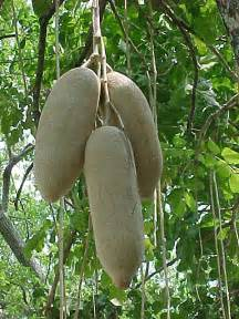 penis grow with mpfunguri tree fruit picture 3