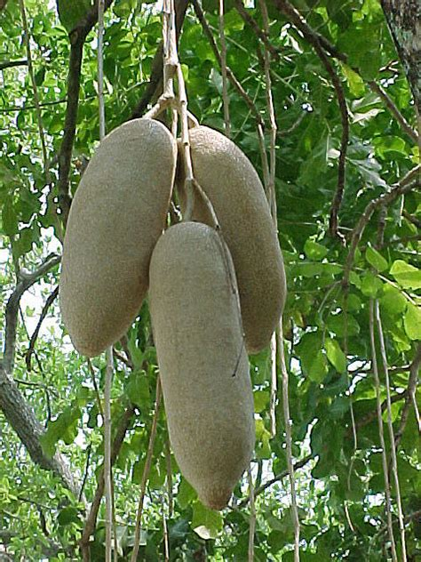 african penis herbs picture 13
