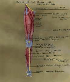 human muscle diagram picture 18
