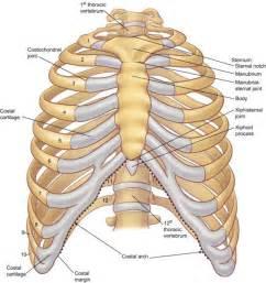 breast bone picture 9