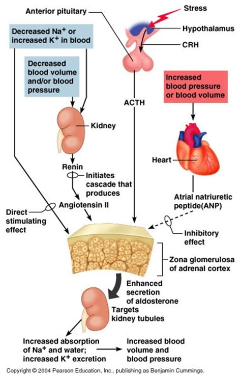 head injury and blood pressure and aldosterone release picture 1