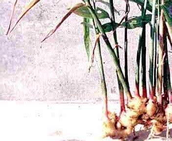 tumbuhan herbal untuk ereksi picture 9