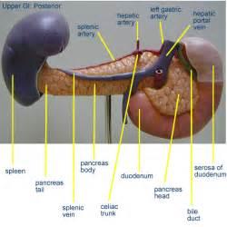 spleen bowel function picture 1