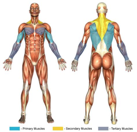 abdominal muscle pulls picture 3