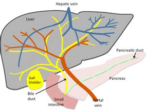 canine cirrhosis of the liver picture 22