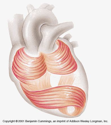 heart muscle picture 10