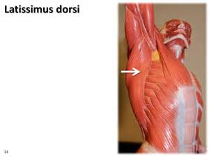latissimus dorsi muscle picture 5