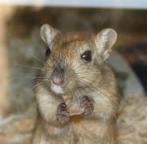 hamster black teeth picture 5