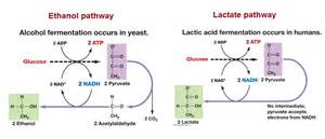 lactic acid yeast picture 1