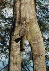 when can i get mpfunguri penis tree picture 1