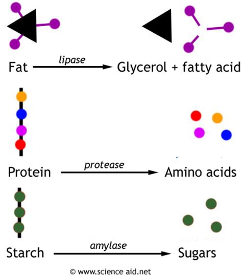 enzymes involved in digestion picture 6