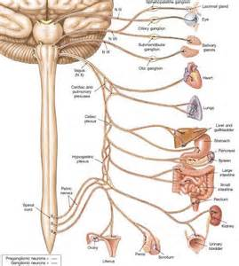 vagus bladder control picture 2