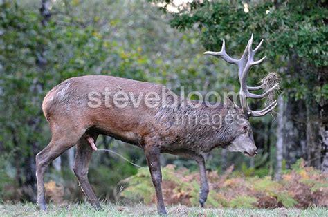 buck deers cock how long is it picture 3
