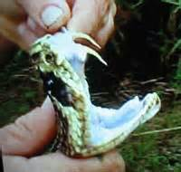do all snakes have teeth picture 6