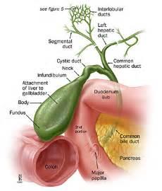 anatomy gall bladder picture 17