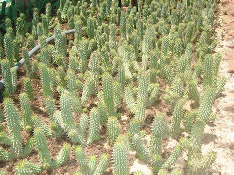 hoodia gordonii plant picture 2