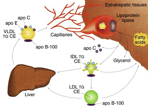What is vldl cholesterol picture 14
