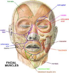 facial anatomy lips picture 5