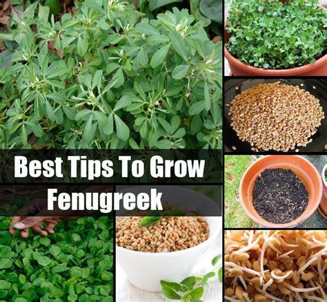 fenugreek growing picture 2