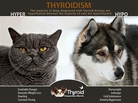 animal thyroid picture 10