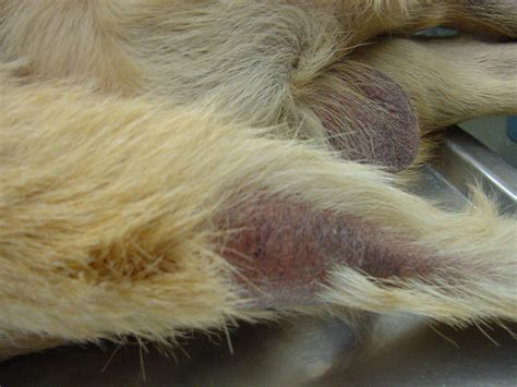 canine thyroid symptoms picture 19
