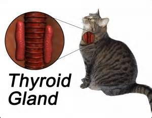 high thyroid in cats symptoms picture 2