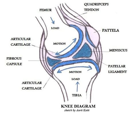diagram of knee joint picture 1