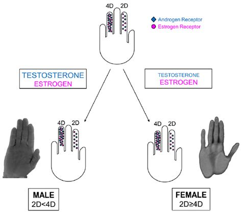 testosterone estrogen study picture 7