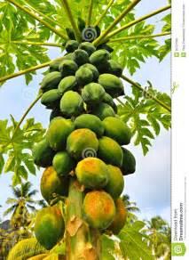 organic papaya picture 7