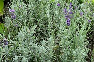 english herbal plant picture 13