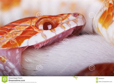corn snakes teeth picture 15