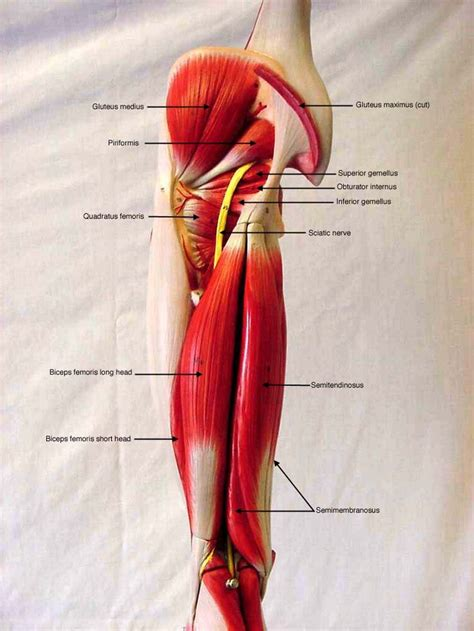 anatomy muscle model picture 3