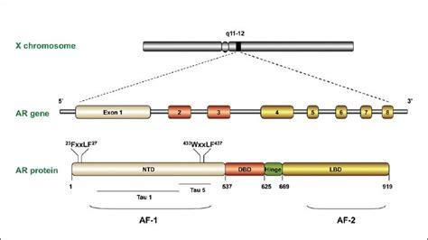 testosterone estrogen receptor picture 14