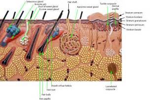 integumentary system skin model picture 10
