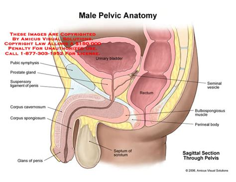 show and identify the various components of the male penis picture 6