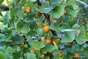 is ginkgo used as a blood thinner picture 2