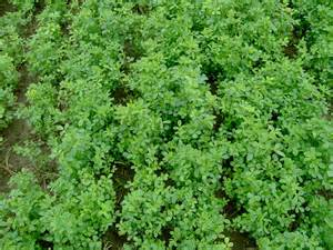 alfalfa growing picture 15