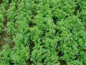 alfalfa growing picture 13