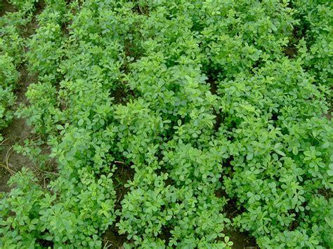 alfalfa picture 14