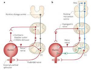 reflexology overactive bladder picture 6