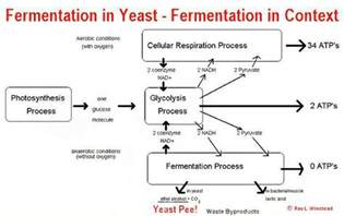 yeast metabolism picture 9