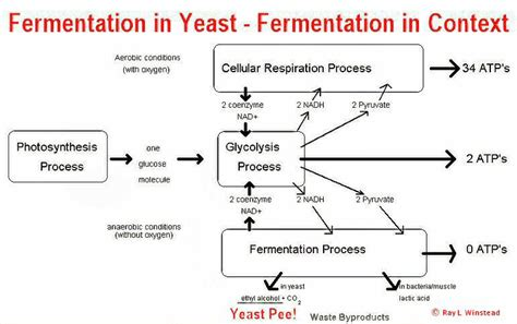 yeast metabolism picture 7