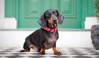 dachshunds - hair loss picture 18