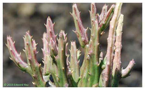 caralluma fimbriata plant growers picture 1