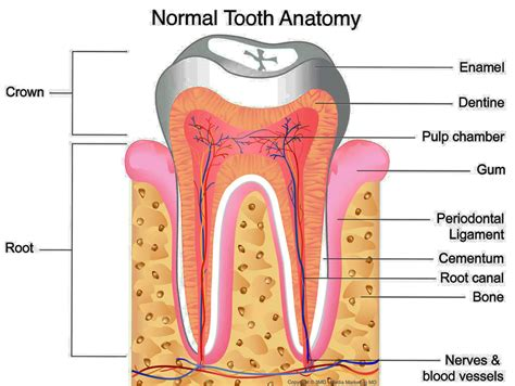 anatomy of the teeth picture 13