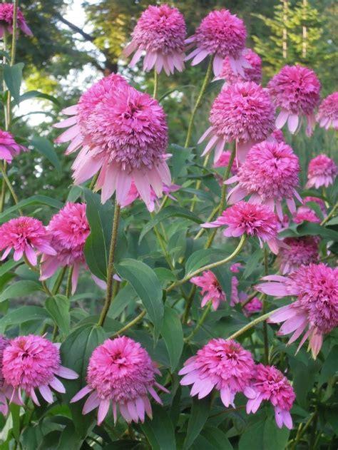 echinacea razzmatazz picture 15