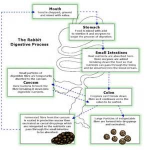rabbit digestion noises picture 1