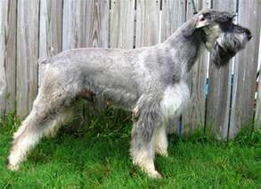 schnauzer symptoms for first sex picture 5