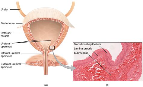 function of the urinary bladder picture 10