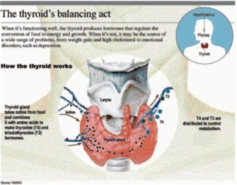 functions of thyroid gland picture 11